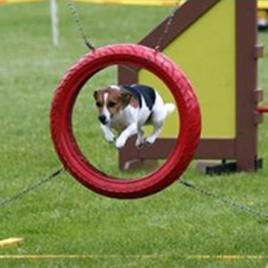 study dog agility at home
