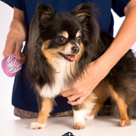 Introduction To Dog Grooming Certificate Course