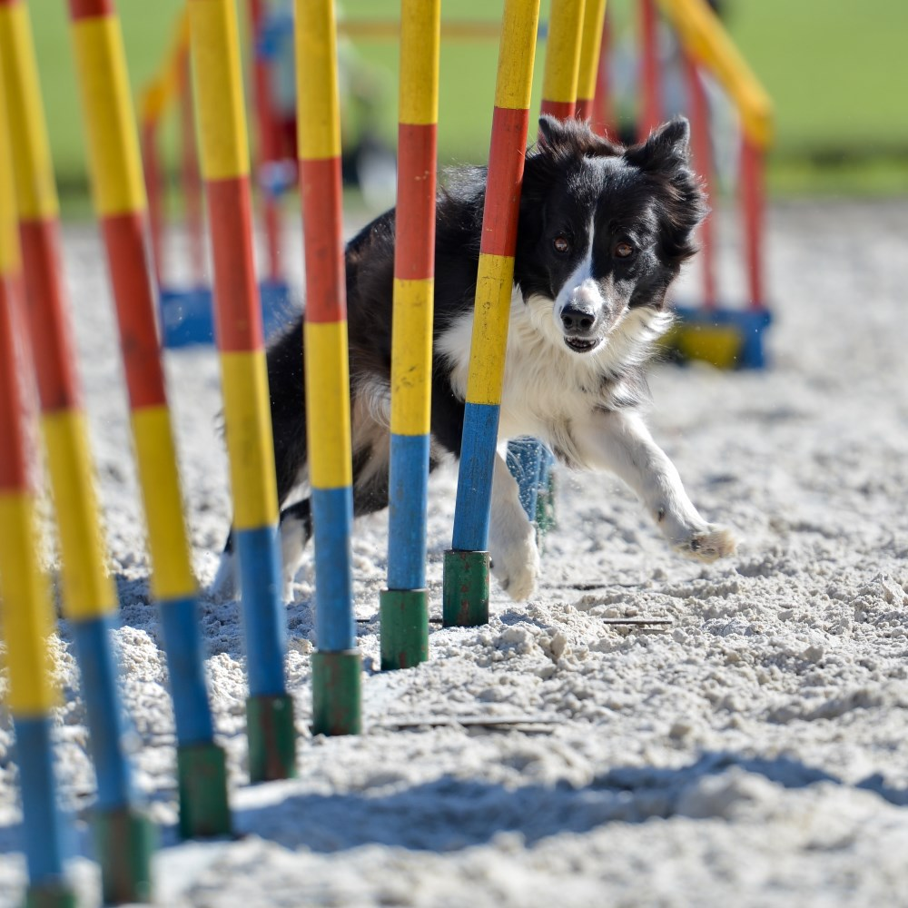 online fun dog agility coaching diploma