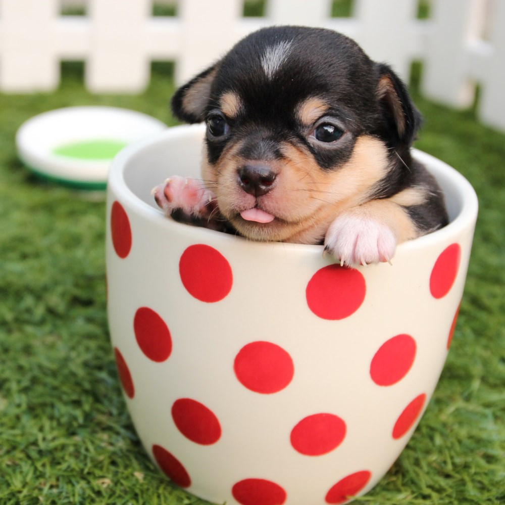 Online puppy care certificate course